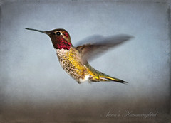 Anna's Hummingbird (champbass2) Tags: california texture northerncalifornia hummingbird birding iridescence annashummingbird humminbird calypteanna fromthegarden backyardbirding flyingjewels maleannashummingbird champbass2 coloredgorget annashummingbirdinflight textureandtext