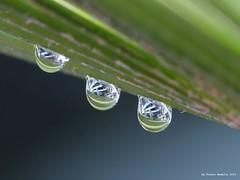 drops, green and little else. (franco nadalin) Tags: verde green drops natura panasonic acqua piante friuli gocce fz150 franconadalin