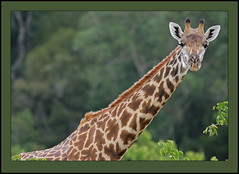 High-rise life! (Rainbirder) Tags: kenya giraffacamelopardalistippelskirchi giraffacamelopardalis masaigiraffe tsavowest rainbirder