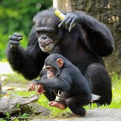 J77A4496 -- That's my boy! (Nils Axel Braathen) Tags: nature canon monkey wildlife ngc chimpanzee soe singaporezoo autofocus ineffable ilikeit frameit fantasticnature slicesoftime thesuperbmasterpiece gnneniyisithebestofday 100commentgroup panoramafotogrfico dragondaggeraward greatshotss faunayfloradelmundo absolutelyperrrfect mygearandme mygearandmepremium mygearandmebronze mygearandmesilver mygearandmegold mygearandmeplatinum mygearandmediamond ringexcellence dblringexcellence tplringexcellence eltringexcellence rememberthatmomentlevel4 rememberthatmomentlevel1 flickrsfinestimages1 flickrsfinestimages2 flickrsfinestimages3 rememberthatmomentlevel2 rememberthatmomentlevel3 me2youphotographylevel1 rememberthatmomentlevel9 rememberthatmomentlevel5 rememberthatmomentlevel6 rememberthatmomentlevel10 onlythebestofflickr vigilantphotographersunite vpu2 vpu3 vpu4 vpu5 vpu6 vpu7 vpu8 vpu9 vpu10 frameitlevel3 frameitlevel2 frameitlevel4 frameitlevel5 frameitlevel6 frameitlevel7 imperialphotography infinitexposure