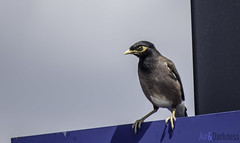 Angry Birds (Astronomr) Tags: newzealand summer birds canon march wildlife powershot mynah sx50hs