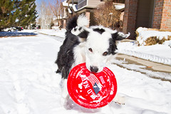 Need a Frisbee? (Anda74) Tags: winter red snow action wideangle frisbee bordercollie ouzo canonef1740mmf4lusm oldnavy