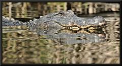 The Object (WanaM3) Tags: nature texas reptile wildlife alligator bayou pasadena canoeing paddling a77 horsepenbayou sonya77 wanam3