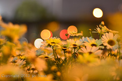Flowers & Bokeh.. ( Nana) Tags: life flowers light colorful natural bokeh taiwan  simple taiwan beautifulflower  flowersbokeh