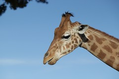 Giraffe - Girafe (tagann) Tags: mars lion wallaby pan puma animaux tigre lynx girafe chvre cigogne albinos barben lemurien felins
