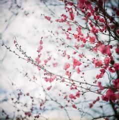 Ume (yocca) Tags: pink flower film nature topf25 t flora kyoto dof kodak bokeh plum 100v10f hasselblad  botanic ume fff  500cm japaneseapricot carlzeiss  portra160  plannar 2013 prunusmume mar2013