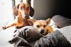 Mason and Olive (Russ Beinder) Tags: dog chihuahua dogs dachshund wiener shorthair doggy pup purebred