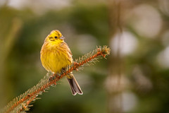 Yellow hammer (Wouter's Wildlife Photography) Tags: bird nature wildlife ngc npc emberizacitrinella billund songbird yellowhammer geelgors avianexcellence mygearandme mygearandmepremium mygearandmebronze mygearandmesilver mygearandmegold