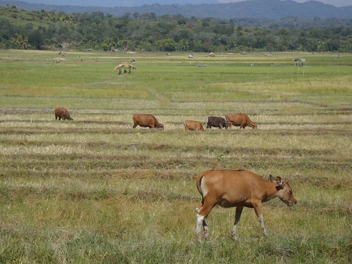 Cattle grazing in  fallow land after rice paddy harvesting in Bobonaro, Timor-Leste. Photo by Jharendu Pant, 2011.