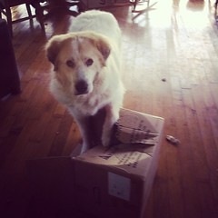 Coltrane! (AncientPirate) Tags: pets dogs trouble coltrane greatpyrenees
