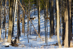 Spring Walk (Chubby's Photography) Tags: trees snow nature animal animals wisconsin march spring woods wildlife doe deer marching does wausau wausauwi