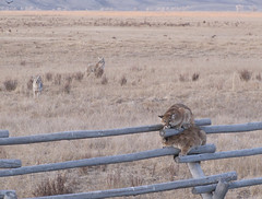 Uh Oh ... (USFWS Mountain Prairie) Tags: coyote jaguar puma cougar bigcats usfws mountainlion predators nationalwildliferefuge fws standoff ner usfishandwildlifeservice elkrefuge nationalelkrefuge wyomingwildlife apexpredators nwrs