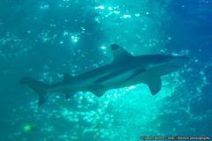 Blacktip Reef Shark (James.Brown.Photography) Tags: james brown photography sony alpha sealife great yarmouth black tip blacktip reef shark fish aquarium norfolk