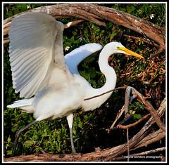 egret dance (natural wonders photography) Tags: nature birdrookery egretdance greatwhiteegret florida naturalwondersphotography outdoors graceandbeauty janeyolen poetry