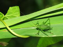 Speckled Bush-cricket (Leptophyes punctatissima), female, late-instar nymph (Julian Hodgson) Tags: orthoptera tettigoniidae cambridgeshire bushcricket raynoxdcr150 leptophyespunctatissima holmefen nationalnaturereserve speckledbushcricket greatfen canonpowershotsx50hs