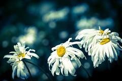 Crazy Daisies (NathalieSt) Tags: exmes bassenormandie nature fleurs fleur flower flowers daisy daisies bokeh