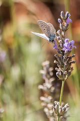 Ambiance du sud (Denis-et-Alain-nature) Tags: argusbleu azurcommun azurdelabugrane polyommatusicaru papillon insecte lpidoptre lumire lumiredujour lumirenaturelle soleil lavande canon70d f456 55250mm bokh