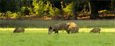 Wilde Zwijnen 120816(1) (Gertj123) Tags: mammals pig eating summer veluwe juvenile netherlands nature grass