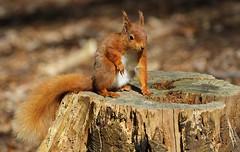 Red Squirrel 040516 (12) (Richard Collier - Wildlife and Travel Photography) Tags: wildlife naturalhistory mammals squirrel redsquirrel brownseaisland british