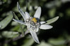 Edelweiss (Kilian ALL) Tags: alpes alps montagne mountain edelweiss leontopodium nivale alpinum fleur flower bokeh flou savoie france