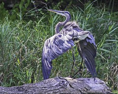 Great Blue Heron Displays IMG_3932 (ronzigler) Tags: great blue heron bird birdwatcher avian nature canon 300mm f4 14x 420mm