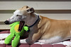 Screaming Mad (DiamondBonz) Tags: spanky dog whippet hound pet froggie screaming mad