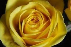 DSC_5596 (PeaTJay) Tags: nikond300s sigma reading lowerearley berkshire macro micro closeups gardens outdoors nature flora fauna plants flowers rose roses rosebuds