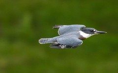 7K8A3858 (rpealit) Tags: scenery wildlife nature east hatchery alumni field hackettstown belted kingfisher flying bird