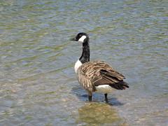 Canadian goose (deannewildsmith) Tags: earthnaturelife