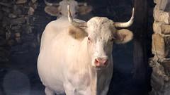 3049 (bernard.bonifassi) Tags: bb088 06 alpesmaritimes 2016 thiery counteadenissa vache bovid