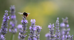 II (GillK2012) Tags: bumblebee nature lavender wildlife littlefeet