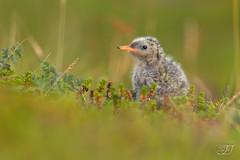 Sterne arctique (Tifaeris) Tags: arctictern charadriiformes larids sternaparadisaea sternearctique bird oiseau