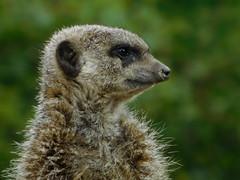 Meerkat (Deb Simpkins) Tags: meerkat animal eye ear nose mouth fur nature whipsnade zoo zsl summer 2016 nikon coolpix l840 bedfordshire