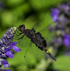 DragonFly_SAF7838 (sara97) Tags: copyright2016saraannefinke dragonfly flyinginsect insect missouri mosquitohawk nature odonata outdoors photobysaraannefinke predator saintlouis towergrovepark