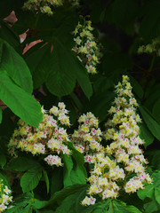 Horse Chesnut Flowers (Steve Taylor (Photography)) Tags: horsechestnut conker green mauve yellow white newzealand nz southisland canterbury christchurch cbd city tree flower leaves spring
