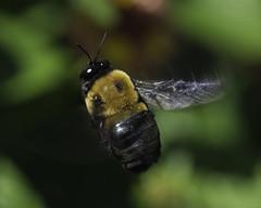 Bee_SAF7349-1 (sara97) Tags: bee copyright2016saraannefinke flyinginsect insect nature outdoors photobysaraannefinke pollinator saintlouismissouri towergerovepark