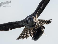 Osprey 8_29 1 (krisinct- Thanks for 12 Million views!) Tags: nikon d500 500 f4 vrg