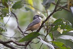 IMG_9430 (Dan Armbrust) Tags: armbrust danarmbrust queensland australia australianbirds julatten 7d