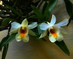 Dendrobium christyanum var. stocky species orchid 7-16 (nolehace) Tags: summer nolehace sanfrancisco fz1000 716 flower bloom plant dendrobium christyanum var stocky species orchid