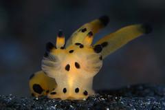 Pikachu! (Randi Ang) Tags: pikachu nudi nudibranch seaslug pokemon thecacerasp thecacera kuanji tulamben bali indonesia underwater scuba diving dive photography macro randi ang randiang canon eos 6d 100mm
