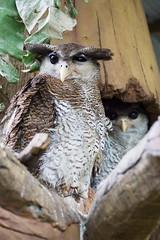 Watcher (bdrc) Tags: owl bird raptor animal nature creature life outdoor park asdgraphy minolta 75300mm f4556 tele zoom