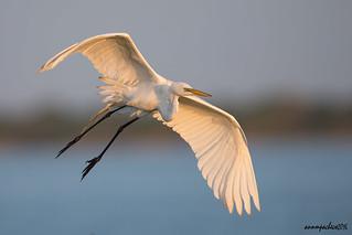 great not so white egret