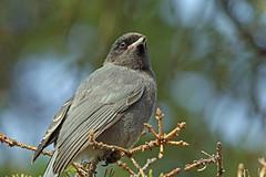Grey Jay, Denali, Alaska (Terathopius) Tags: alaska usa greyjay denalicounty denali perisoreuscanadensispacificus perisoreuscanadensis