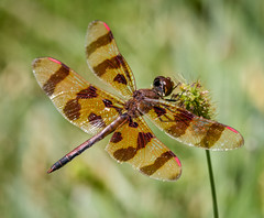 Halloween Pennant (tresed47) Tags: 2016 201609sep 20160904chestercountymacro brandywinekardon canon7d chestercounty content dragonflies folder halloweenpennant insects macro pennsylvania peterscamera petersphotos places takenby technical us