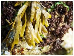 Fucus (Free 2 Be) Tags: algae fucus seaweed northvancouver beach catespark seashore lowtide afsdxvrzoomnikkor18200mmf3556gifedii
