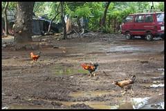 Mumbai's CITY  FOREST  @SGNP (indianature13) Tags: sgnp cityforest forest westernghats maharashtra mumbai indianature india nature sanjaygandhinationalpark adivasisinsgnp adivasi adivasipada