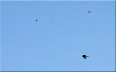 havik - mannetje - op jacht (creating more portraits...) Tags: jager jacht mannetjeshavik vogel vliegend vlucht