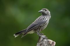 Notenkraker (ludovreys) Tags: notenkraker bird animal