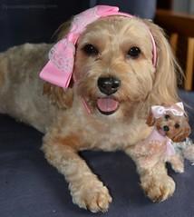 Caturday Art  Mini Sadie (yourdesignerdog) Tags: ifttt wordpress all posts sadie art blog cute designer dogs pets photography yorkie poo yorkipoo