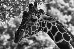 DSC01958 (Henri Photography) Tags: animals zoo atlantazoo henriphotography animal giraffe closeup